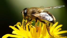 λεπτομερής η μέλισσα απομονωμένη μέλι μακροεντολή συσσώρευσε πολύ άσπρο στοκ εικόνα με δικαίωμα ελεύθερης χρήσης