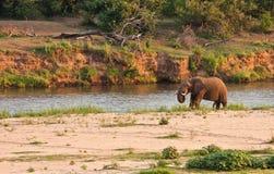 επόμενος ποταμός ελεφάντων ταύρων που στέκεται Στοκ Φωτογραφίες