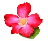 Ερήμων ροδαλός-Impala ρόδινα λουλούδια αζαλεών κρίνων πλαστά Στοκ Εικόνες