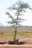 Ερήμωση, πρόβατα και αίγες που αναγκάζονται να πάρουν το καταφύγιο κάτω από τη σκιά ενός μόνου δέντρου στοκ εικόνες με δικαίωμα ελεύθερης χρήσης
