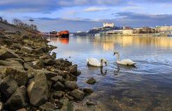 Εραστές ζευγών του Κύκνου στον ποταμό Δούναβη, το κάστρο και το ST μΑ της Μπρατισλάβα Στοκ Φωτογραφία