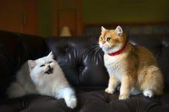 Εραστής γατών στον καναπέ Στοκ Φωτογραφία