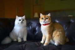 Εραστής γατών στον καναπέ Στοκ Εικόνες
