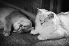 Εραστής γατών Στοκ Εικόνες