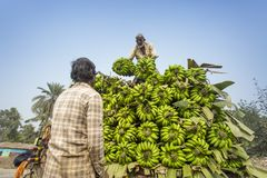 Εργάζεται φορτώνει στο φορτηγό επαναλείψεων στις πράσινες μπανάνες Στοκ Φωτογραφίες