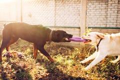 Εργαζόμενα σκυλιά στην κατάρτιση, συνεργάτης cynologist στοκ εικόνες