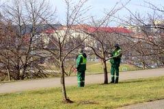 Εργαζόμενοι που εποπτεύουν τα δέντρα sakura στην πόλη Vilnius Στοκ εικόνα με δικαίωμα ελεύθερης χρήσης
