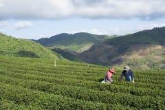 Εργαζόμενοι που συγκομίζουν το τσάι στη φυτεία σε Chiang Rai, Ταϊλάνδη Στοκ εικόνα με δικαίωμα ελεύθερης χρήσης