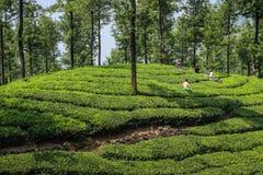 Εργαζόμενοι τσαγιού με τις θεριστικές μηχανές τσαγιού που συγκομίζουν το τσάι στους πράσινους πολύβλαστους λόφους τσαγιού και τα  Στοκ Φωτογραφίες