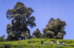 Εργαζόμενοι τσαγιού με τις θεριστικές μηχανές τσαγιού που συγκομίζουν το τσάι στους πράσινους πολύβλαστους λόφους τσαγιού και τα  Στοκ Εικόνες