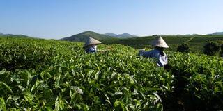 Εργαζόμενοι φυτειών τσαγιού στοκ εικόνα με δικαίωμα ελεύθερης χρήσης