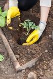 Εργαζόμενος γεωργίας που φυτεύει τη συγκομιδή στο soi Στοκ εικόνες με δικαίωμα ελεύθερης χρήσης