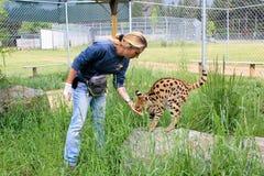 Εργαζόμενος ζωολογικών κήπων που ταΐζει την άγρια γάτα Στοκ εικόνα με δικαίωμα ελεύθερης χρήσης