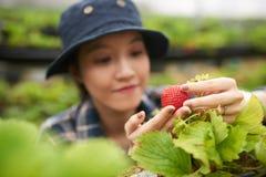 Εργαζόμενος θερμοκηπίων με την ώριμη φράουλα Στοκ Εικόνες