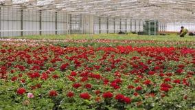 Εργαζόμενος θερμοκηπίων που φροντίζει για τα λουλούδια, ροή της δουλειάς στο θερμοκήπιο για την ανάπτυξη των λουλουδιών, ένα μεγά φιλμ μικρού μήκους