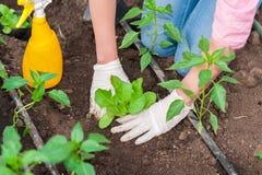 Εργαζόμενος κήπων γυναικών που φυτεύει τη σαλάτα στο χώμα Στοκ Εικόνα