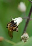 εργαζόμενος μελισσών Στοκ εικόνα με δικαίωμα ελεύθερης χρήσης
