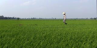 Εργαζόμενος που περπατά στον τομέα ρυζιού Στοκ εικόνα με δικαίωμα ελεύθερης χρήσης