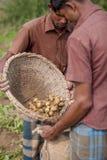 εργαζόμενος 2 που συντηρεί τα μέρη της πατάτας η τσάντα γιούτας τους στον τομέα φυτειών πατατών σε Thakurgong, Μπανγκλαντές στοκ φωτογραφία