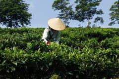 Εργαζόμενος στη φυτεία τσαγιού στοκ εικόνες