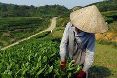 Εργαζόμενος στη φυτεία τσαγιού στοκ φωτογραφία