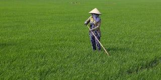 Εργαζόμενος στον τομέα ρυζιού Στοκ Εικόνες