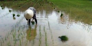 Εργαζόμενος στον τομέα ρυζιού Στοκ φωτογραφίες με δικαίωμα ελεύθερης χρήσης