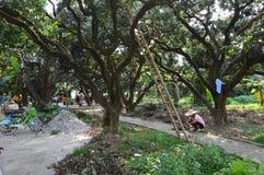 Εργαζόμενος στο κινεζικό αγρόκτημα φρούτων Στοκ Εικόνες