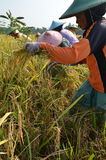 Εργαζόμενος τομέων ρυζιού γεωργίας 02 Στοκ Εικόνες