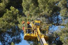 Εργασία δέντρων, διαδικασίες περικοπής Ξύλο γερανών και πεύκων Στοκ Εικόνες