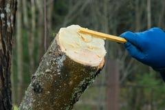 εργασία κήπων Επεξεργασία του κομμένου κλάδου του δέντρου στοκ φωτογραφία