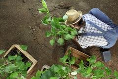 Εργασία κηπουρικής ατόμων στη θέση φυτικών κήπων εγκαταστάσεις στο έδαφος έτσι ώστε μπορεί να αυξηθεί, τοπ άποψη στοκ φωτογραφία