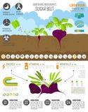 Εργασία κηπουρικής, καλλιέργεια infographic Σακχαρότευτλο Γραφικό πρότυπο Στοκ φωτογραφία με δικαίωμα ελεύθερης χρήσης