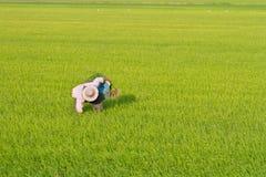 εργασία ρυζιού πεδίων αγροτών Στοκ Φωτογραφία