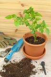 εργασίες άνοιξη κήπων Πιπέρια τσίλι σποροφύτων αναπτύσσοντας λαχανικά Μεταμόσχευση των σποροφύτων στα δοχεία Στοκ εικόνα με δικαίωμα ελεύθερης χρήσης