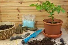 εργασίες άνοιξη κήπων Πιπέρια τσίλι σποροφύτων αναπτύσσοντας λαχανικά Μεταμόσχευση των σποροφύτων στα δοχεία Στοκ φωτογραφία με δικαίωμα ελεύθερης χρήσης