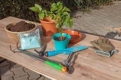 εργασίες άνοιξη κήπων Πιπέρια τσίλι σποροφύτων αναπτύσσοντας λαχανικά Μεταμόσχευση των σποροφύτων στα δοχεία Στοκ φωτογραφίες με δικαίωμα ελεύθερης χρήσης