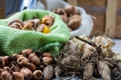 Εργασίες κήπων άνοιξης και καλοκαιριού - φυτεψτε τα θερινά λουλούδια, βολβοί, SE Στοκ φωτογραφία με δικαίωμα ελεύθερης χρήσης