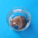 εργαστηριακό ποντίκι Στοκ φωτογραφία με δικαίωμα ελεύθερης χρήσης