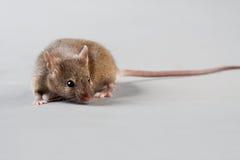 εργαστηριακό ποντίκι στοκ εικόνες με δικαίωμα ελεύθερης χρήσης