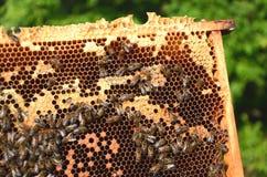 Εργατικές μέλισσες στην κηρήθρα Στοκ φωτογραφίες με δικαίωμα ελεύθερης χρήσης
