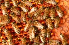 Εργατικές μέλισσες στην κηρήθρα Στοκ Εικόνες