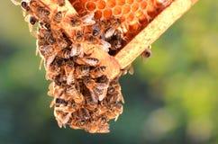 Εργατικές μέλισσες στην κηρήθρα Στοκ Φωτογραφία