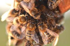 Εργατικές μέλισσες στην κηρήθρα Στοκ Εικόνα