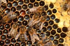 Εργατικές μέλισσες στην κηρήθρα Στοκ εικόνες με δικαίωμα ελεύθερης χρήσης