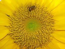 Εργατικοί μέλισσες και ηλίανθοι Στοκ Φωτογραφίες