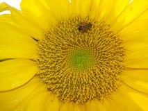 Εργατικοί μέλισσες και ηλίανθοι Στοκ φωτογραφία με δικαίωμα ελεύθερης χρήσης