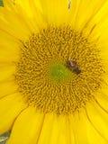 Εργατικοί μέλισσες και ηλίανθοι Στοκ Εικόνες