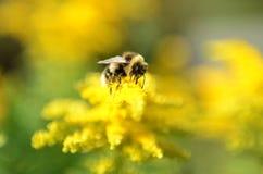 Εργατικό Bumble-bee (μέλισσα) στο κίτρινο λουλούδι στοκ εικόνα με δικαίωμα ελεύθερης χρήσης