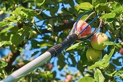 Εργαλείο επιλογής φρούτων με έναν πόλο επέκτασης Στοκ Φωτογραφία